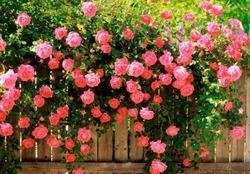 Помогите выбрать розы.