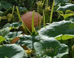 Тыква — овощ зимний