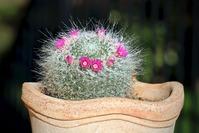 Размножение кактусов боковыми черенками и верхушками
