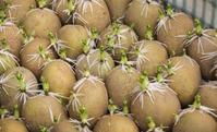 Проращивание картофеля: а нужно ли?