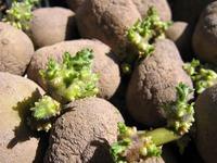 Готовимся к весне: проращиваем картофель