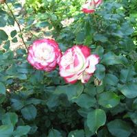 Красавица роза. Оригинальное применение.
