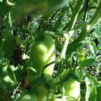 Томаты в моем огороде)