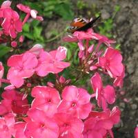 Любимые цветы бабочек