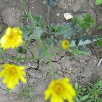 Ястребинка – леопардовый цветок