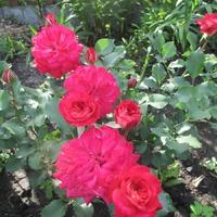 Розы. Результат весенней посадки роз.