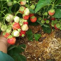 Клубника и другая ягода в моем саду