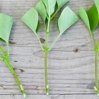 Размножение кустарников зеленым черенкованием