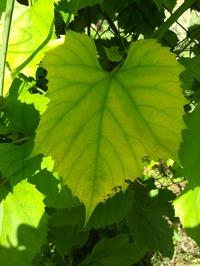 Желтеют молодые листья винограда. Почему?