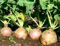 Овощи, которые не поздно посеять летом