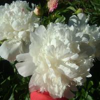 Самые прекрасные цветы Это те, что мама разводила...