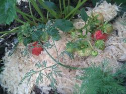 О рассаде клубники