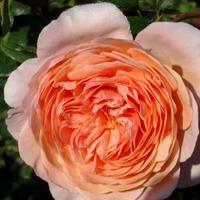 Имя розы.