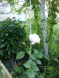 Зацвела роза Нью Даун.