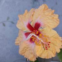 Гибискусы цветут