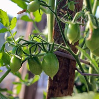 Мои эксперименты с новыми сортами томатов. (Продолжение)