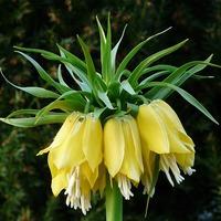 Рябчик императорский: почему не цветет красавец?