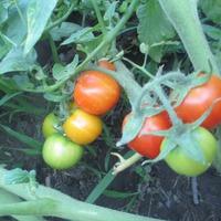 Вот они какие, первые помидорчики в ОГ.