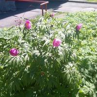 Растения городских газонов