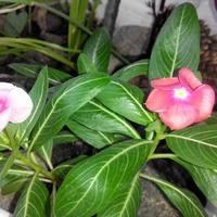 Катарантус. Цветок из тропиков Мадагаскара.