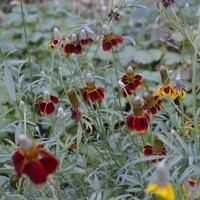 Необычный цветок ратибида