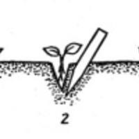 Бегония. Пикировка рассады и проращивание клубней.