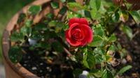 Уход за розой в горшочке