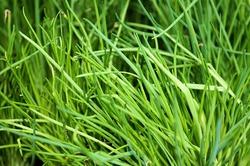 Зеленый лук от всех недуг