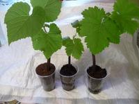 Продам саженцы винограда. (Россия г. Королев, г. Москва)