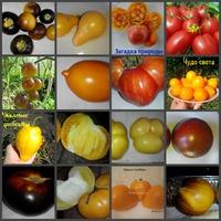Посев томатов.