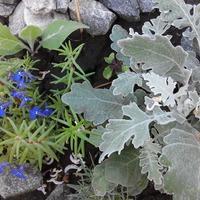 Цинерария приморская, кружевные серебристые листья.