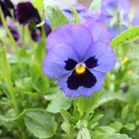 Выращивание рассады виолы в ОГ