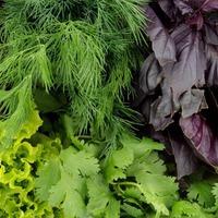 Зелень - кладезь витаминов и микроэлементов.