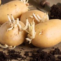 Как вырастить картофель из ростков?
