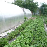 Выращивание клубники на нетканом материале