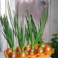 Какую зелень легко вырастить на подоконнике?