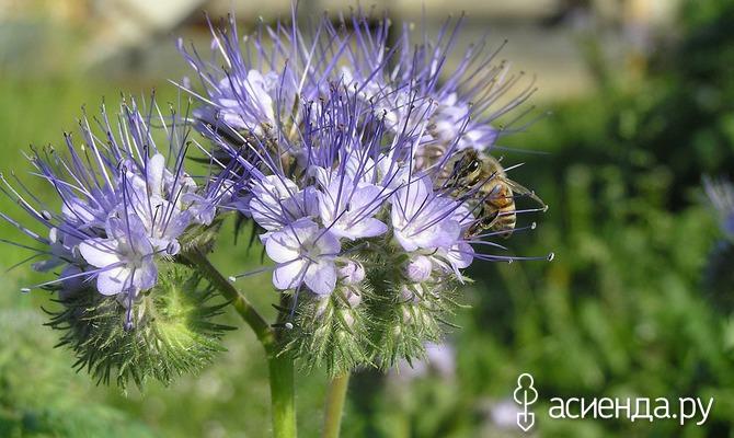 Фацелия – кладовая для пчел и не только