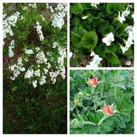 Майские цветения в саду
