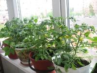 Мои балконные помидоры уже цветут