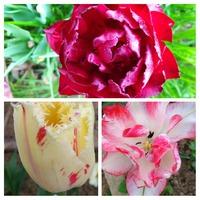 Майские цветения в саду, продолжение