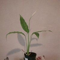 Спатифиллум мини. Первое цветение.