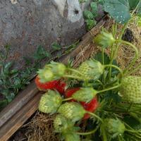 Первые ягодки в этом году.