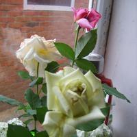 Болеют цветы роз
