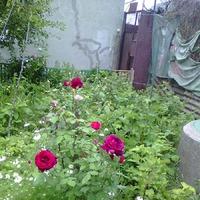 Цветочное настроение часть 5. Майское цветение моих роз.