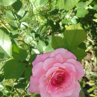 """Наживка для розоманов! Розы. Том первый. Часть первая """"Майская"""""""