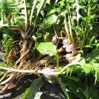 5 вопросов о корнях одуванчика
