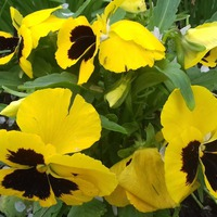 Красавицы виолочки – жёлтые глазуньи