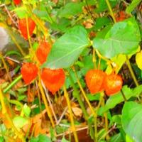 Яркие осенние фонарики. Выращивание.