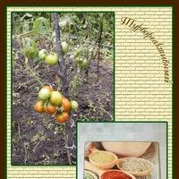 Отчёт по урожаю помидоров 2018 год. Часть 1.