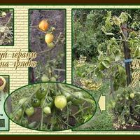 Отчёт по урожаю помидоров 2018 год. Часть 2.